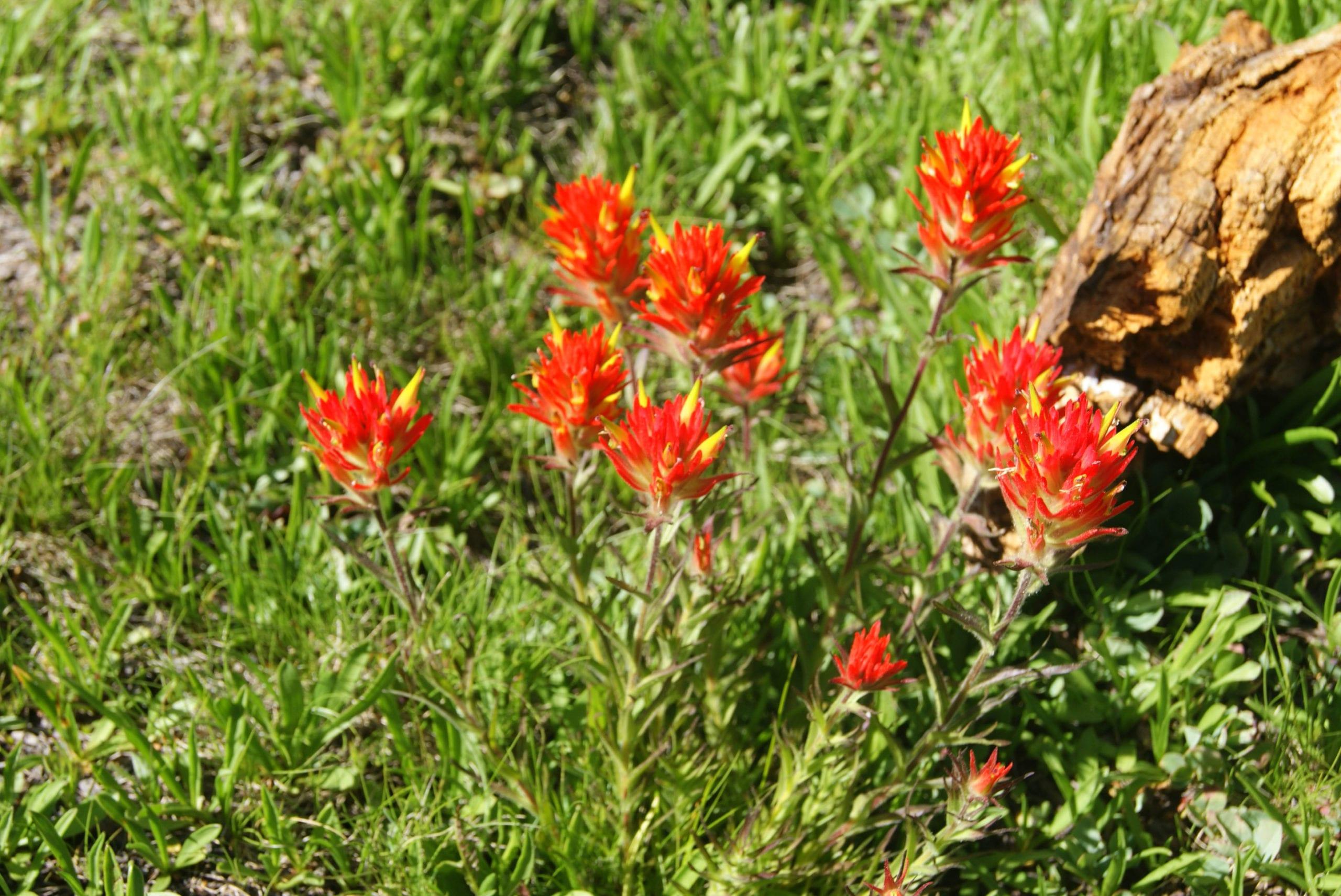 Sierra Nevada Flowers
